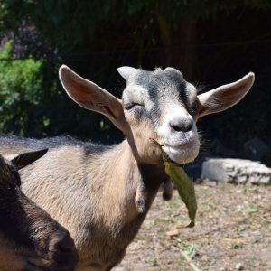 2-of-our-cheeky-goats